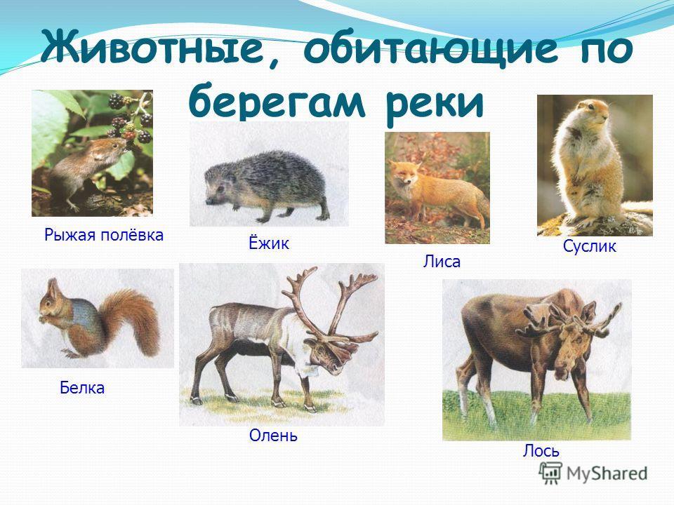 Животные, обитающие по берегам реки Рыжая полёвка Лиса Суслик Ёжик Белка Олень Лось