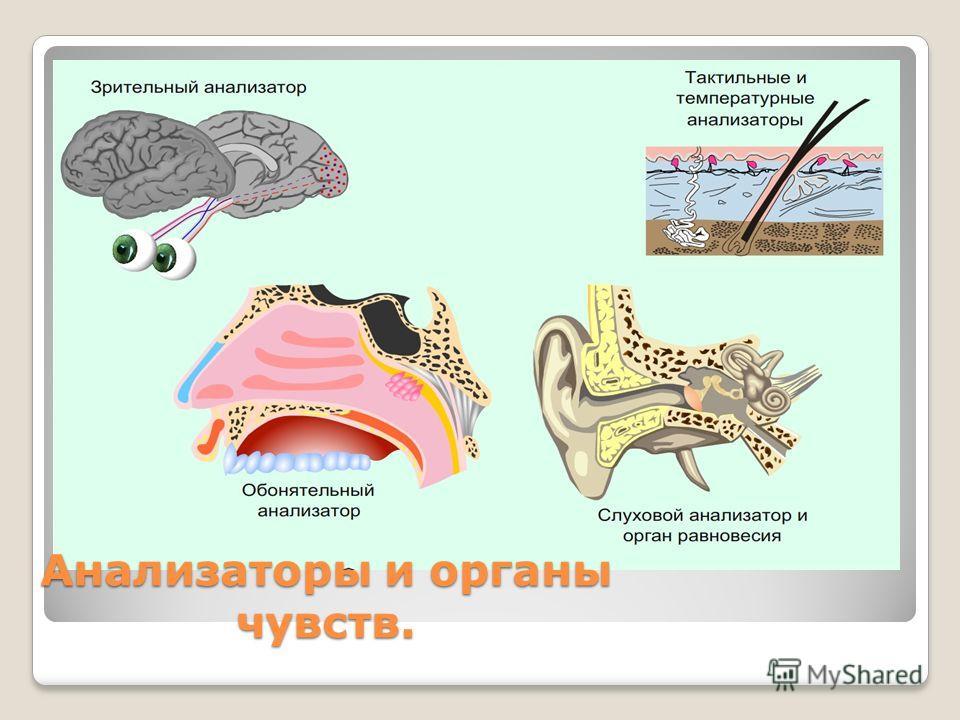 Анализаторы и органы чувств.