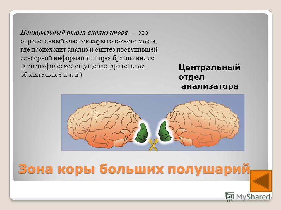 Зона коры больших полушарий Центральный отдел анализатора это определенный участок коры головного мозга, где происходит анализ и синтез поступившей сенсорной информации и преобразование ее в специфическое ощущение (зрительное, обонятельное и т. д.).