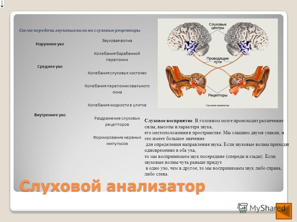 Слуховой анализатор Слуховое восприятие. В головном мозге происходит различение силы, высоты и характера звука, его местоположения в пространстве. Мы слышим двумя ушами, и это имеет большое значение для определения направления звука. Если звуковые во