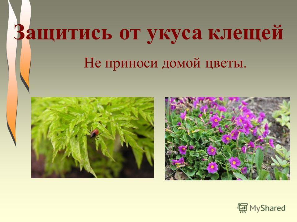 Не приноси домой цветы. Защитись от укуса клещей