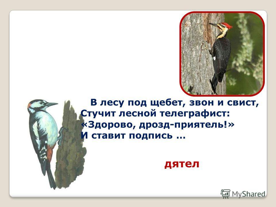 В лесу под щебет, звон и свист, Стучит лесной телеграфист: «Здорово, дрозд-приятель!» И ставит подпись … дятел
