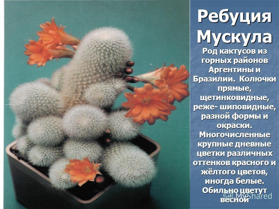 Ребуция Мускула Род кактусов из горных районов Аргентины и Бразилии. Колючки прямые, щетинковидные, реже- шиповидные, разной формы и окраски. Многочисленные крупные дневные цветки различных оттенков красного и жёлтого цветов, иногда белые. Обильно цв