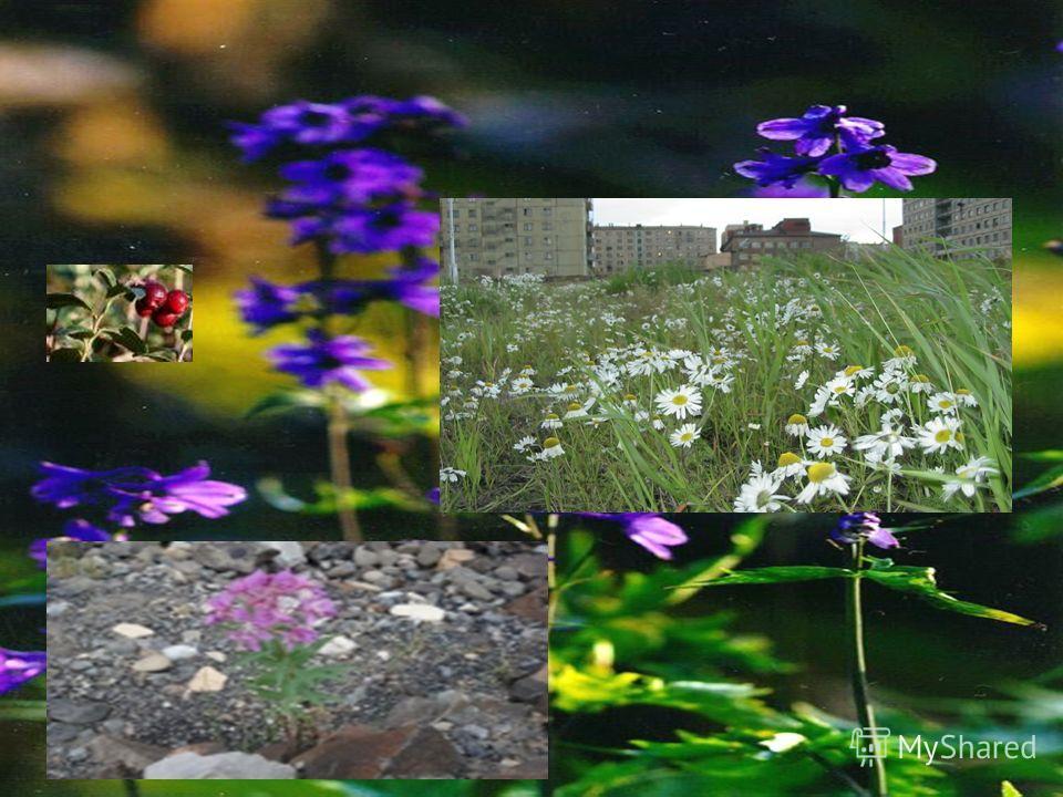 Лесотундровые растения: