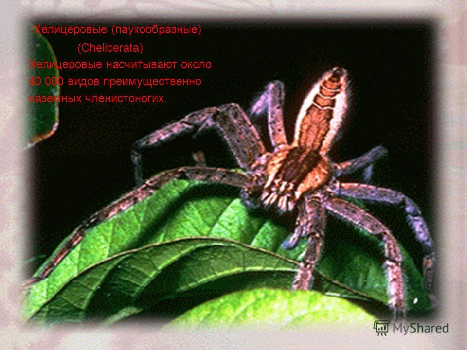 Хелицеровые (паукообразные) (Chelicerata) Хелицеровые насчитывают около 40 000 видов преимущественно наземных членистоногих.