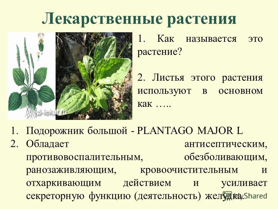 Лекарственные растения 1. Как называется это растение? 2. Отвар листьев и цветков этого растения используют в основном при заболевании органов ……. 1.Мать-и-мачеха (Tussilago farfara L.) 2.Диоскорид и Плиний рекомендовали отвар при легочных заболевани