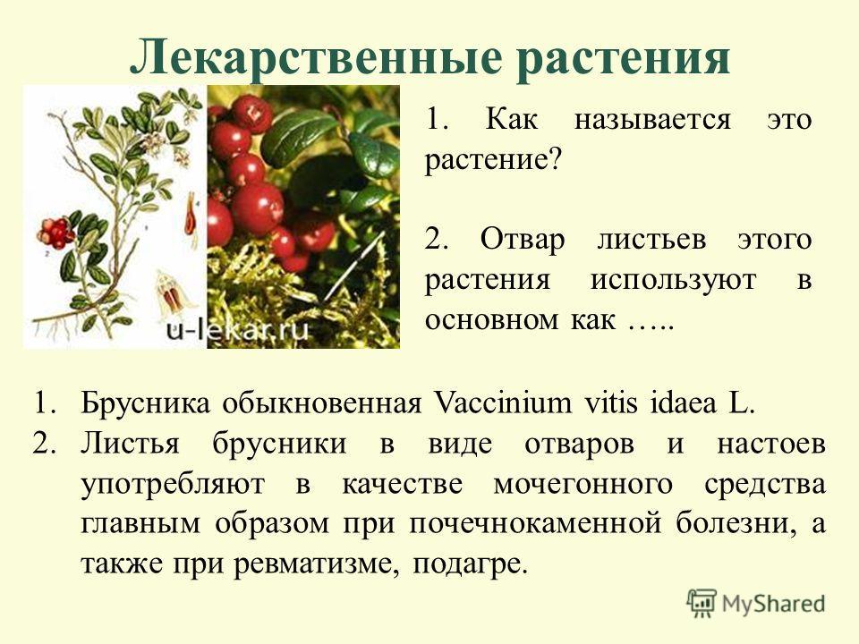 Лекарственные растения 1. Как называется это растение? 2. Листья этого растения используют в основном как ….. 1.Подорожник большой - PLANTAGO MAJOR L 2.Обладает антисептическим, противовоспалительным, обезболивающим, ранозаживляющим, кровоочистительн