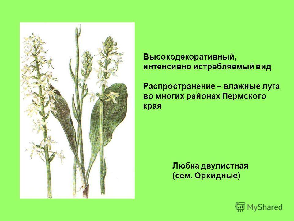 Любка двулистная (сем. Орхидные) Высокодекоративный, интенсивно истребляемый вид Распространение – влажные луга во многих районах Пермского края