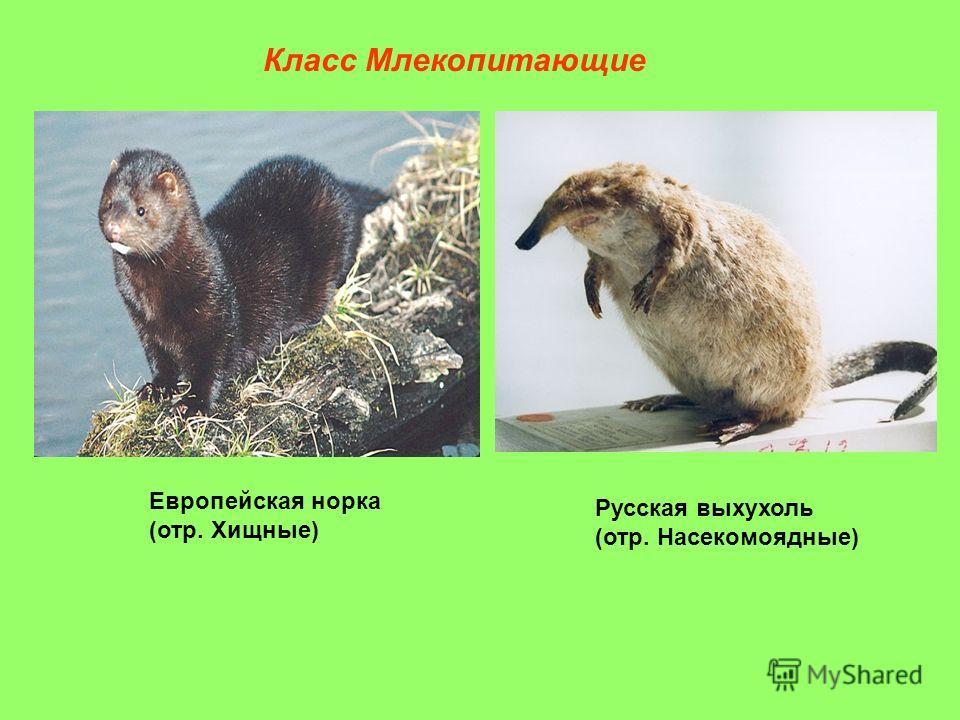 Класс Млекопитающие Европейская норка (отр. Хищные) Русская выхухоль (отр. Насекомоядные)