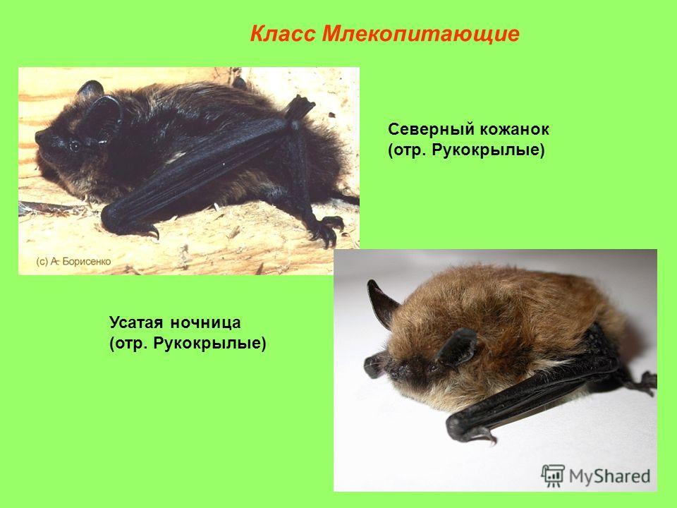 Северный кожанок (отр. Рукокрылые) Усатая ночница (отр. Рукокрылые) Класс Млекопитающие