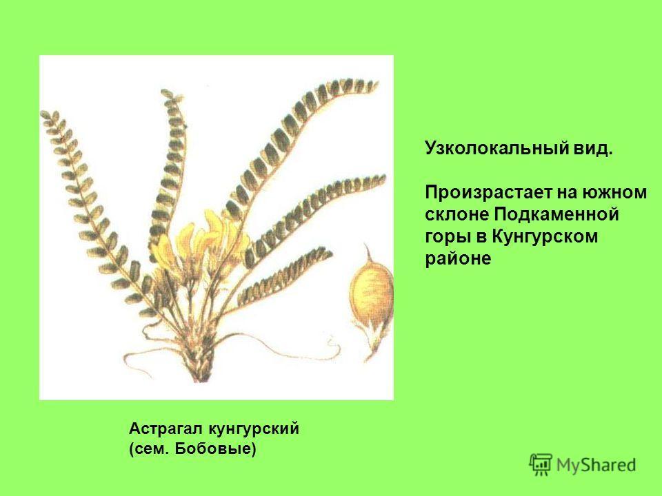 Астрагал кунгурский (сем. Бобовые) Узколокальный вид. Произрастает на южном склоне Подкаменной горы в Кунгурском районе