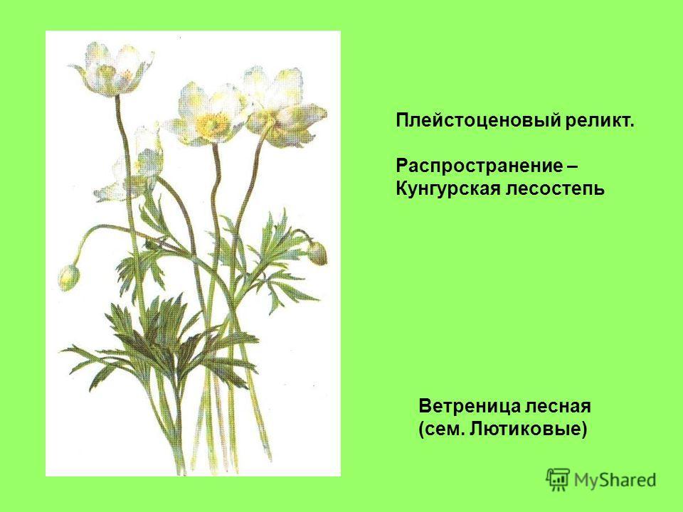 Ветреница лесная (сем. Лютиковые) Плейстоценовый реликт. Распространение – Кунгурская лесостепь