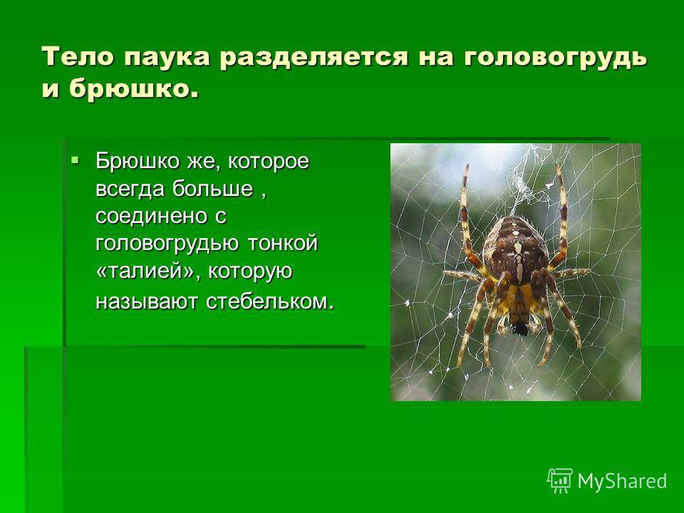 Тело паука разделяется на головогрудь и брюшко. Брюшко же, которое всегда больше, соединено с головогрудью тонкой «талией», которую называют стебельком. Брюшко же, которое всегда больше, соединено с головогрудью тонкой «талией», которую называют стеб