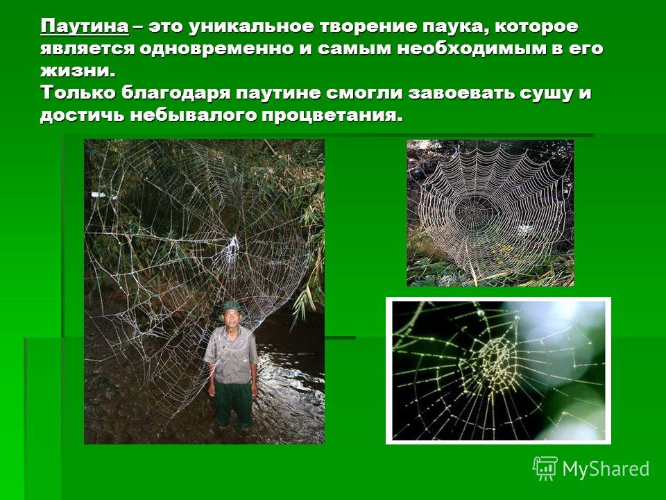 Паутина – это уникальное творение паука, которое является одновременно и самым необходимым в его жизни. Только благодаря паутине смогли завоевать сушу и достичь небывалого процветания.
