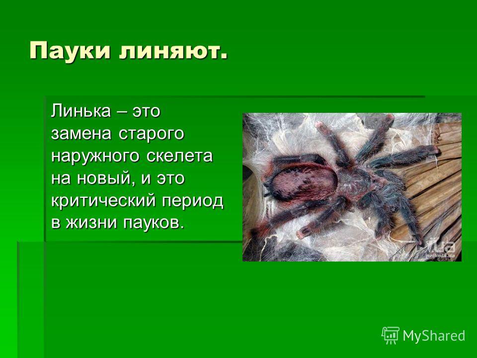 Пауки линяют. Линька – это замена старого наружного скелета на новый, и это критический период в жизни пауков.