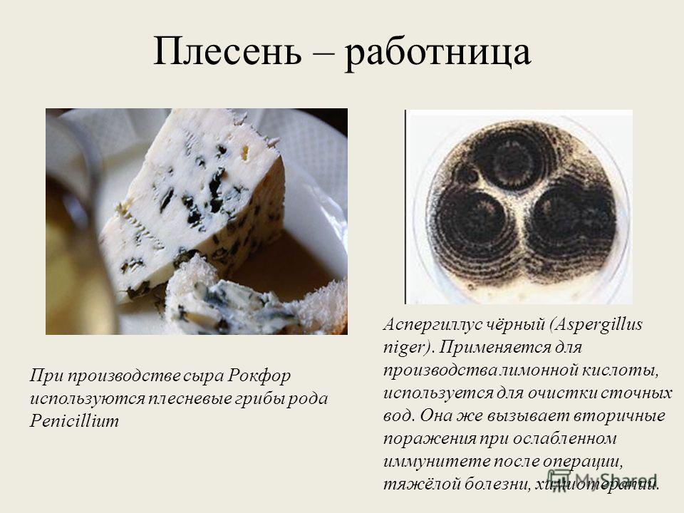 Плесень – работница При производстве сыра Рокфор используются плесневые грибы рода Penicillium Аспергиллус чёрный (Aspergillus niger). Применяется для производства лимонной кислоты, используется для очистки сточных вод. Она же вызывает вторичные пора