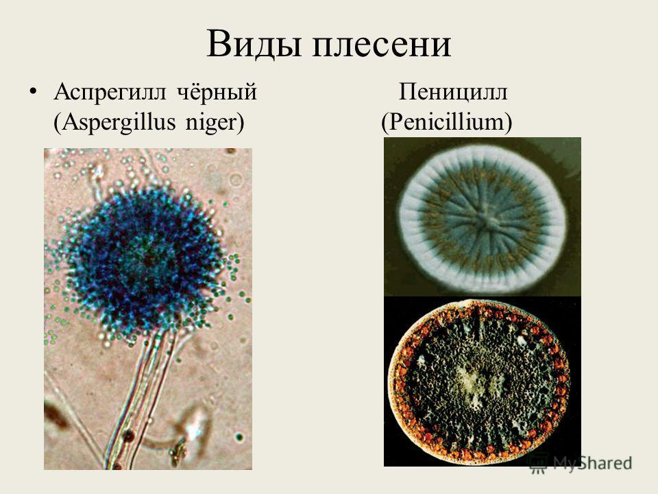 Виды плесени Аспрегилл чёрный Пеницилл (Aspergillus niger) (Penicillium)