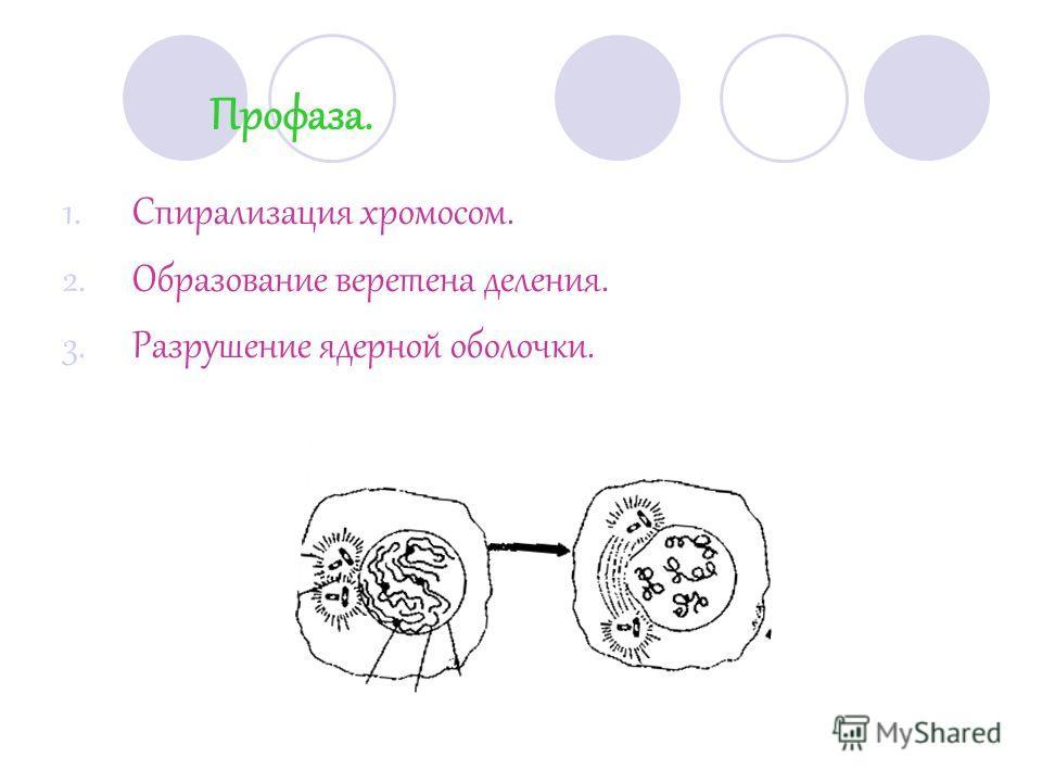 Профаза. 1.Спирализация хромосом. 2.Образование веретена деления. 3.Разрушение ядерной оболочки.