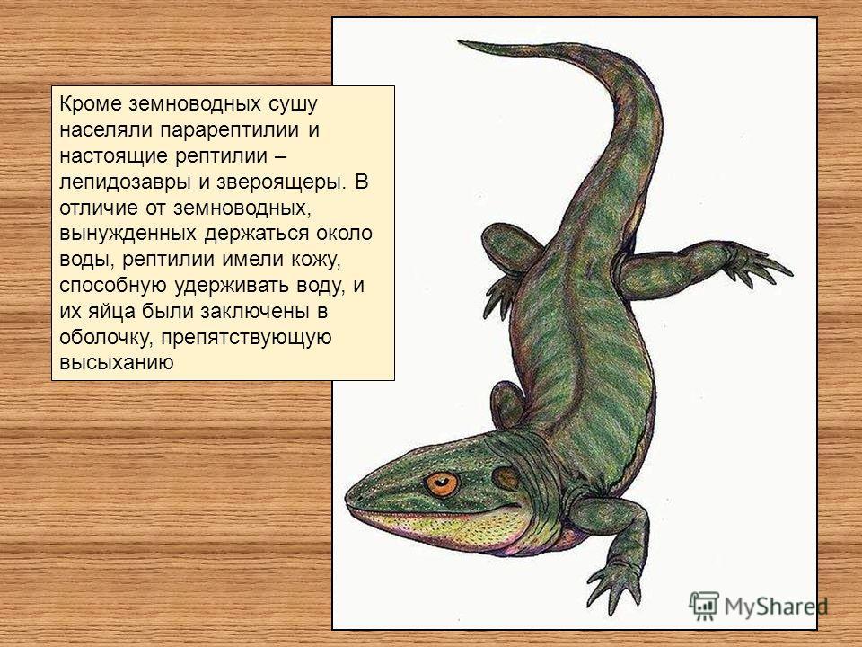 Кроме земноводных сушу населяли парарептилии и настоящие рептилии – лепидозавры и звероящеры. В отличие от земноводных, вынужденных держаться около воды, рептилии имели кожу, способную удерживать воду, и их яйца были заключены в оболочку, препятствую