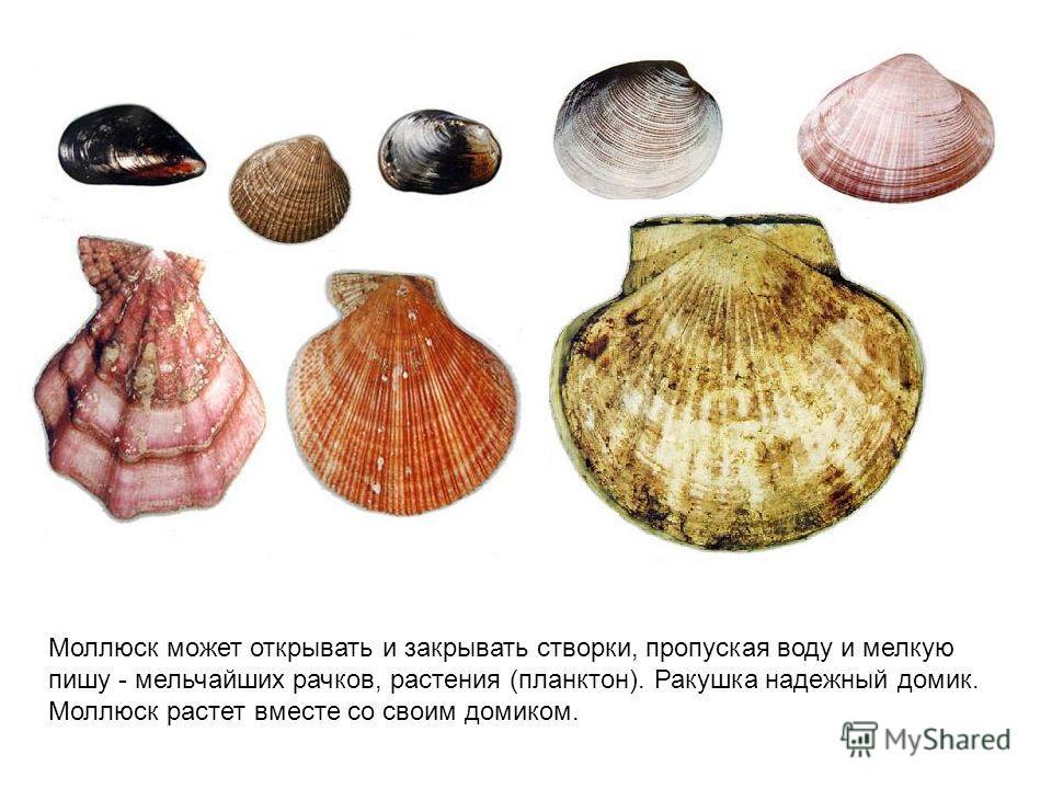 Моллюск может открывать и закрывать створки, пропуская воду и мелкую пишу - мельчайших рачков, растения (планктон). Ракушка надежный домик. Моллюск растет вместе со своим домиком.