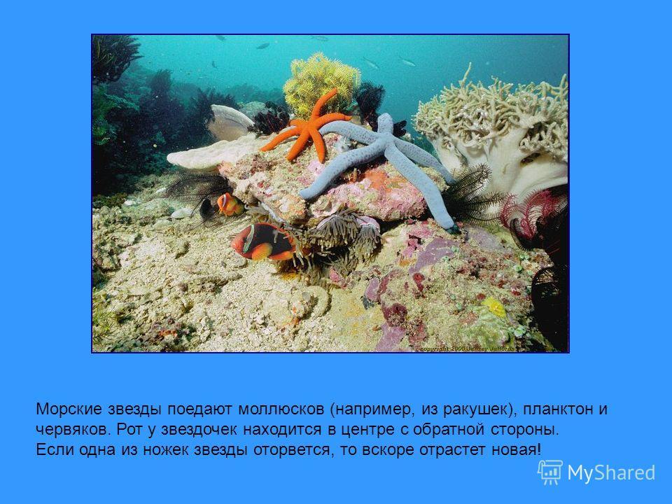 Морские звезды поедают моллюсков (например, из ракушек), планктон и червяков. Рот у звездочек находится в центре с обратной стороны. Если одна из ножек звезды оторвется, то вскоре отрастет новая!