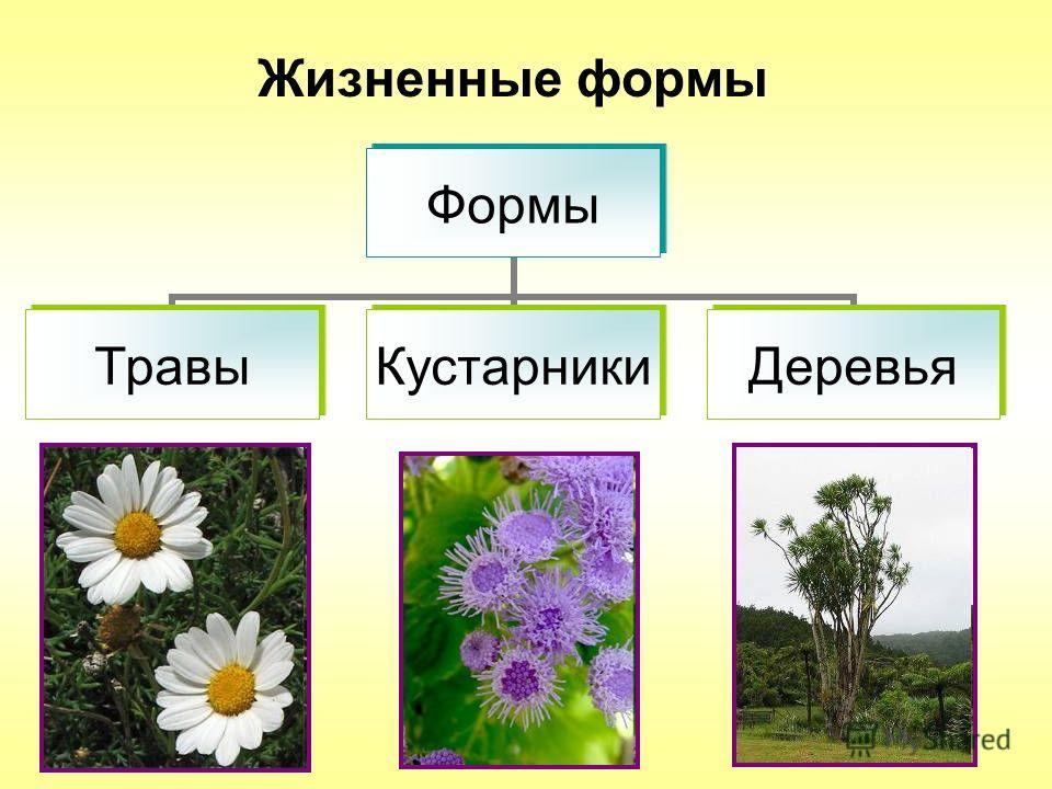 Жизненные формы Формы ТравыКустарникиДеревья