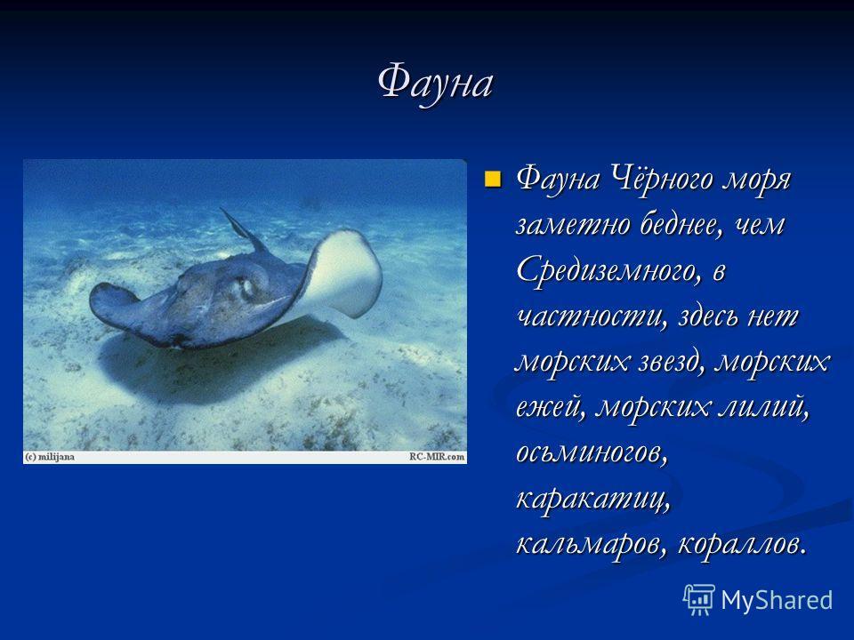 Фауна Фауна Фауна Чёрного моря заметно беднее, чем Средиземного, в частности, здесь нет морских звезд, морских ежей, морских лилий, осьминогов, каракатиц, кальмаров, кораллов. Фауна Чёрного моря заметно беднее, чем Средиземного, в частности, здесь не