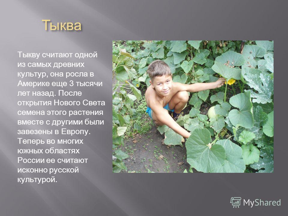 Тыква Тыкву считают одной из самых древних культур, она росла в Америке еще 3 тысячи лет назад. После открытия Нового Света семена этого растения вместе с другими были завезены в Европу. Теперь во многих южных областях России ее считают исконно русск