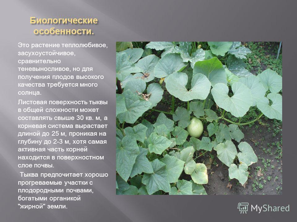 Биологические особенности. Это растение теплолюбивое, засухоустойчивое, сравнительно теневыносливое, но для получения плодов высокого качества требуется много солнца. Листовая поверхность тыквы в общей сложности может составлять свыше 30 кв. м, а кор