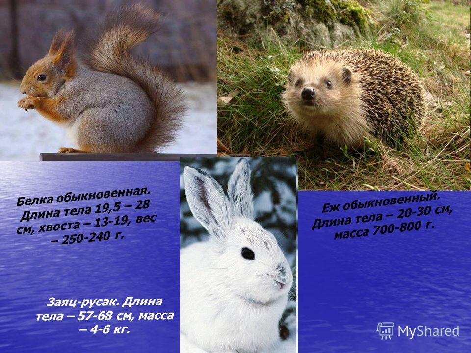 Белка обыкновенная. Длина тела 19,5 – 28 см, хвоста – 13-19, вес – 250-240 г. Заяц-русак. Длина тела – 57-68 см, масса – 4-6 кг. Еж обыкновенный. Длина тела – 20-30 см, масса 700-800 г.
