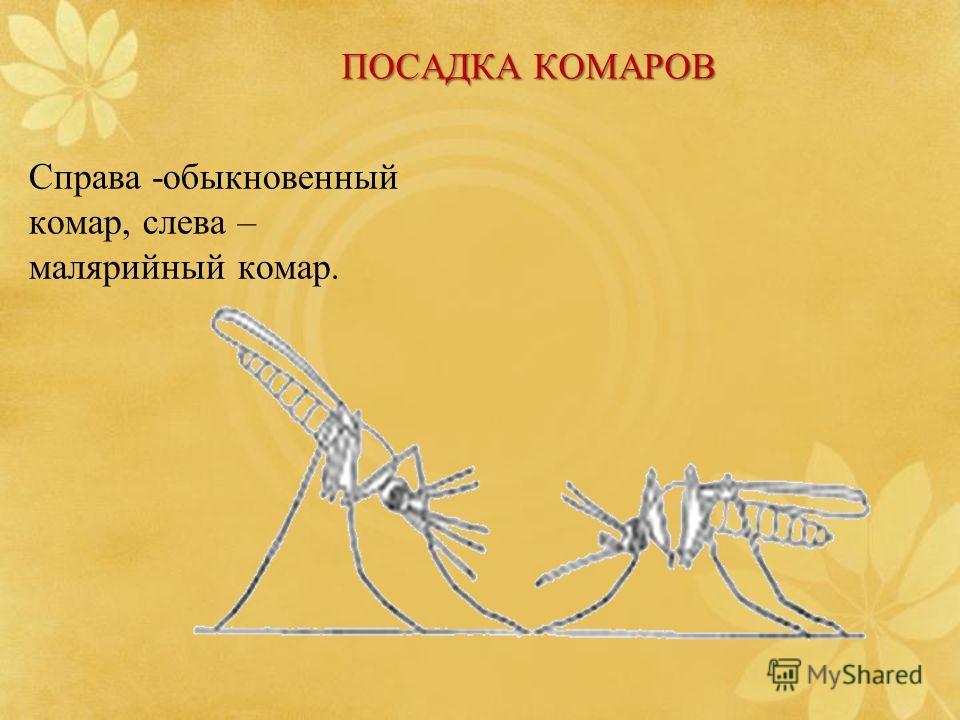 ПОСАДКА КОМАРОВ Справа -обыкновенный комар, слева – малярийный комар.