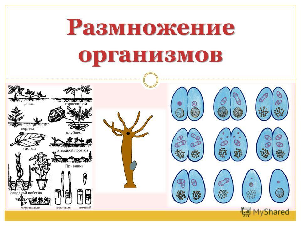 Размножение организмов