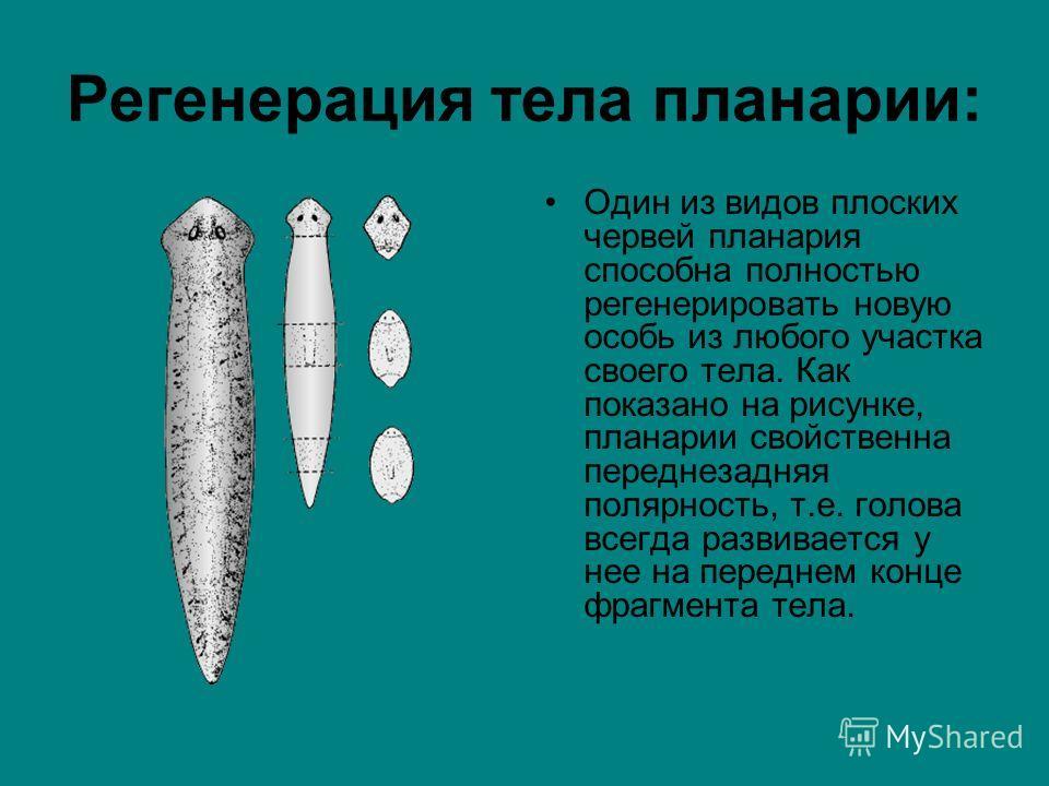 Регенерация тела планарии: Один из видов плоских червей планария способна полностью регенерировать новую особь из любого участка своего тела. Как показано на рисунке, планарии свойственна переднезадняя полярность, т.е. голова всегда развивается у нее