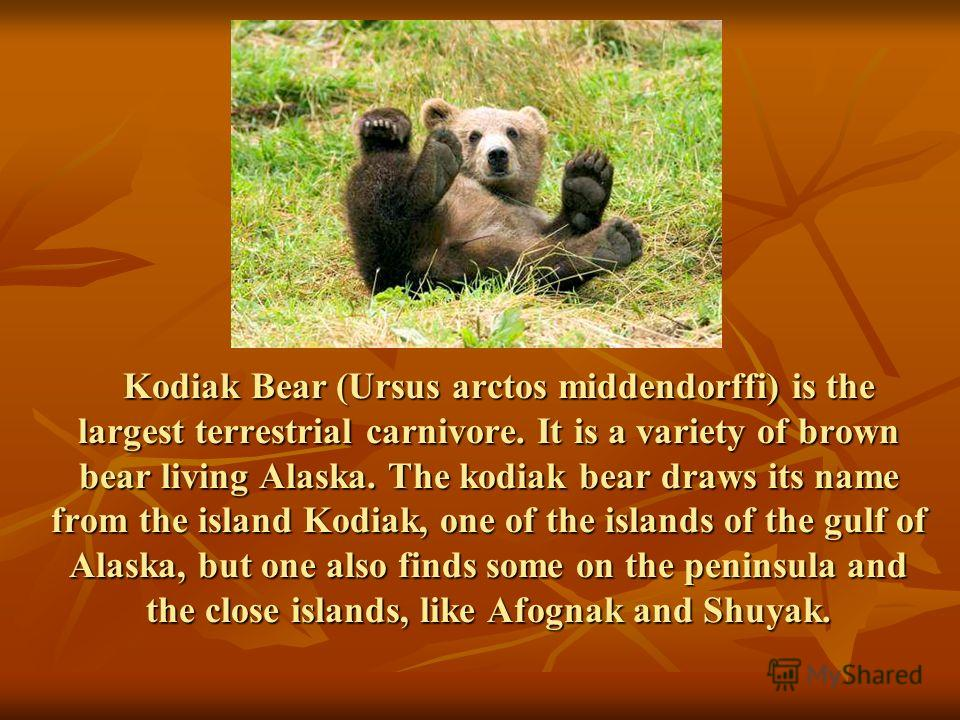 Kodiak Bear (Ursus arctos middendorffi) is the largest terrestrial carnivore. It is a variety of brown bear living Alaska. The kodiak bear draws its name from the island Kodiak, one of the islands of the gulf of Alaska, but one also finds some on the