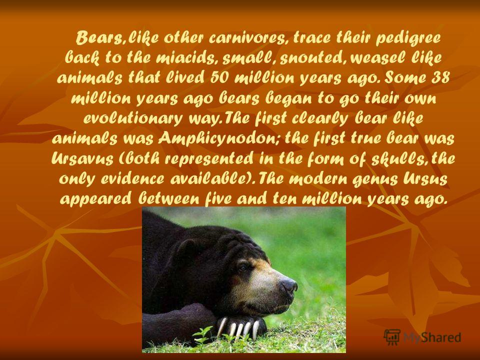 Bears, like other carnivores, trace their pedigree back to the miacids, small, snouted, weasel like animals that lived 50 million years ago. Some 38 million years ago bears began to go their own evolutionary way. The first clearly bear like animals w