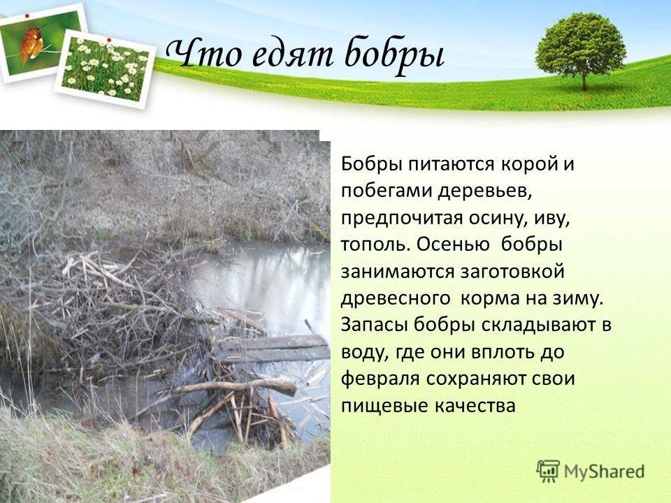 Что едят бобры Бобры питаются корой и побегами деревьев, предпочитая осину, иву, тополь. Осенью бобры занимаются заготовкой древесного корма на зиму. Запасы бобры складывают в воду, где они вплоть до февраля сохраняют свои пищевые качества