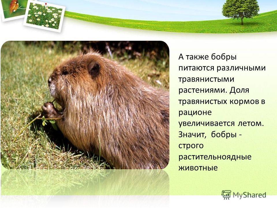 А также бобры питаются различными травянистыми растениями. Доля травянистых кормов в рационе увеличивается летом. Значит, бобры - строго растительноядные животные