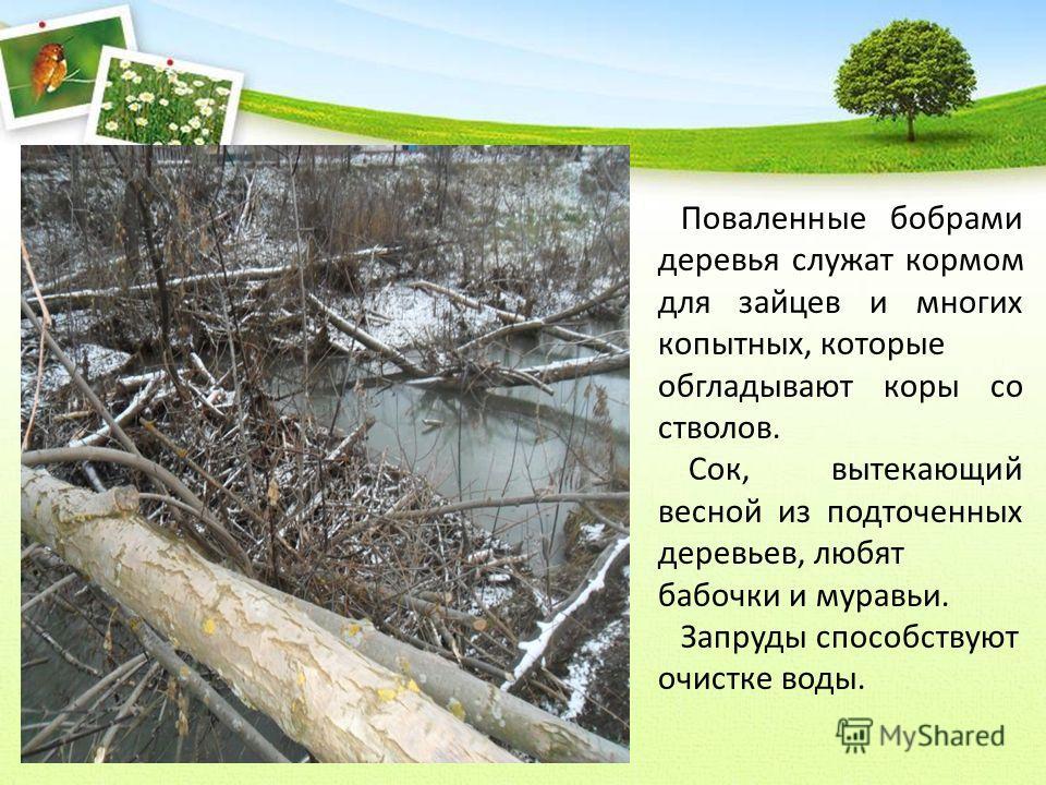 Поваленные бобрами деревья служат кормом для зайцев и многих копытных, которые обгладывают коры со стволов. Сок, вытекающий весной из подточенных деревьев, любят бабочки и муравьи. Запруды способствуют очистке воды.