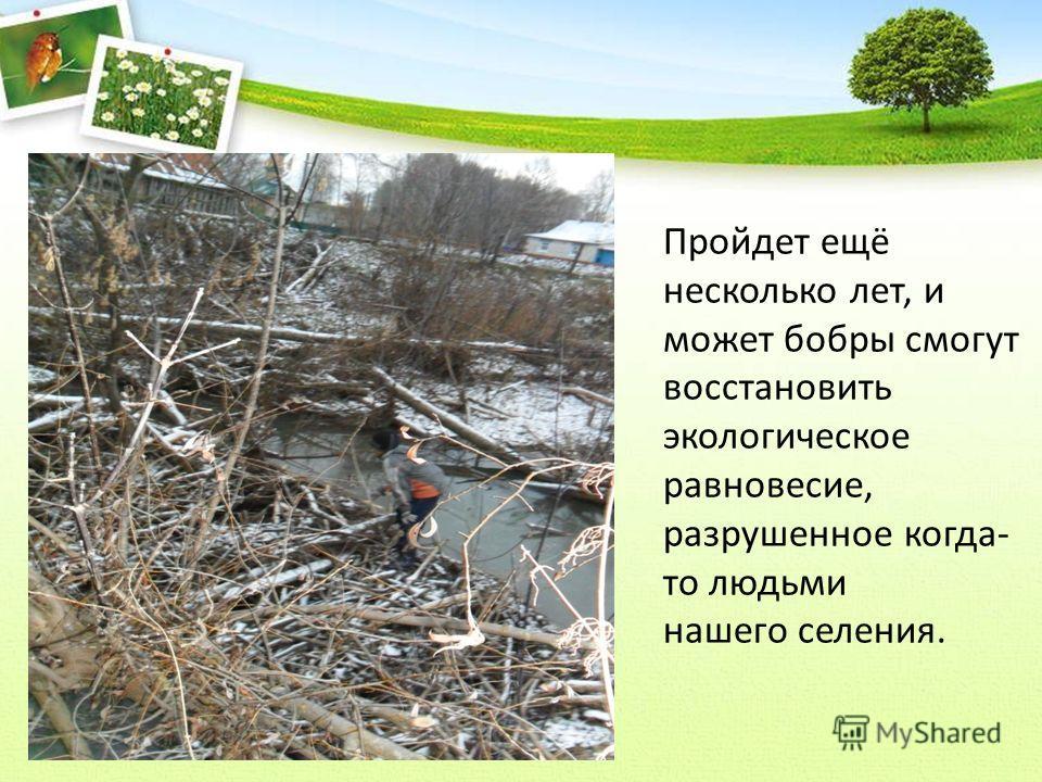 Пройдет ещё несколько лет, и может бобры смогут восстановить экологическое равновесие, разрушенное когда- то людьми нашего селения.