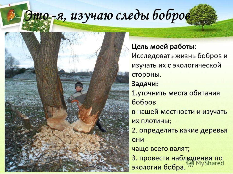 Это -я, изучаю следы бобров Цель моей работы: Исследовать жизнь бобров и изучать их с экологической стороны. Задачи: 1.уточнить места обитания бобров в нашей местности и изучать их плотины; 2. определить какие деревья они чаще всего валят; 3. провест