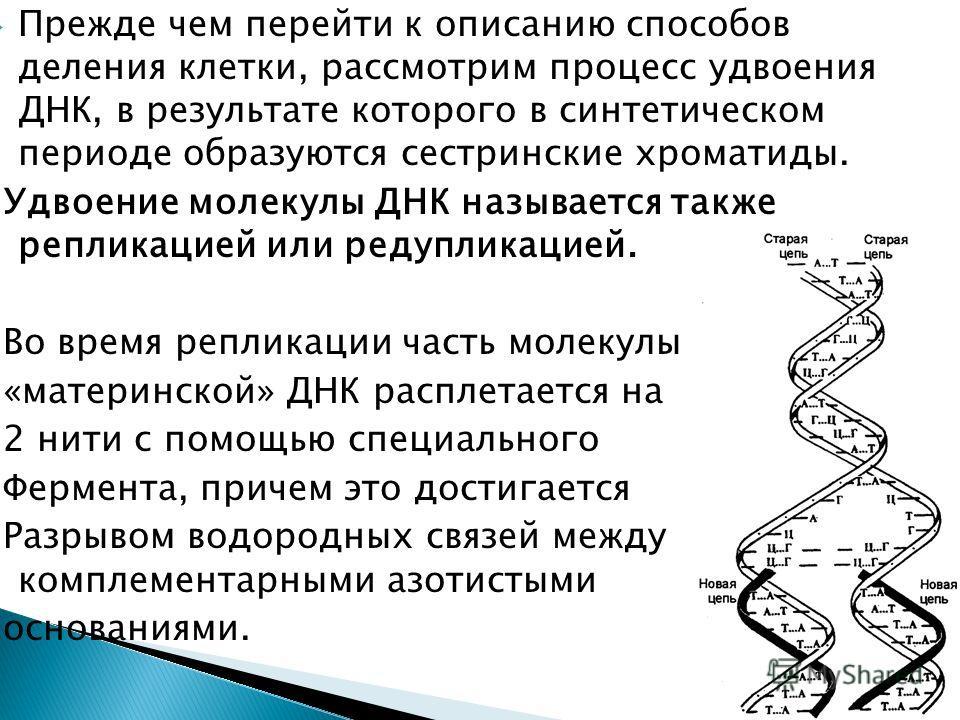 Прежде чем перейти к описанию способов деления клетки, рассмотрим процесс удвоения ДНК, в результате которого в синтетическом периоде образуются сестринские хроматиды. Удвоение молекулы ДНК называется также репликацией или редупликацией. Во время реп