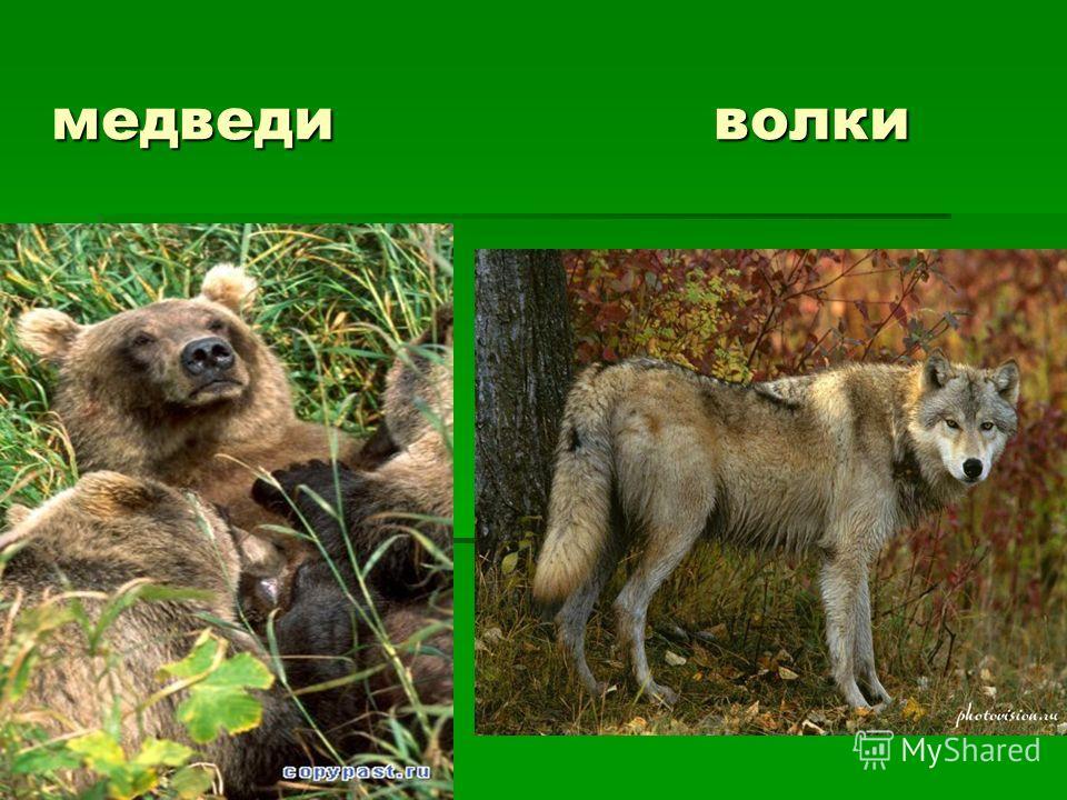 медведи волки медведи волки