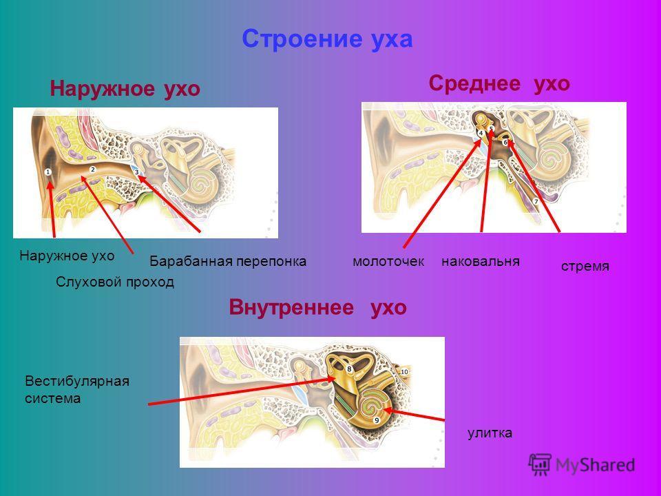 Строение уха Наружное ухо Слуховой проход Барабанная перепонка Среднее ухо молоточекнаковальня стремя Внутреннее ухо Вестибулярная система улитка