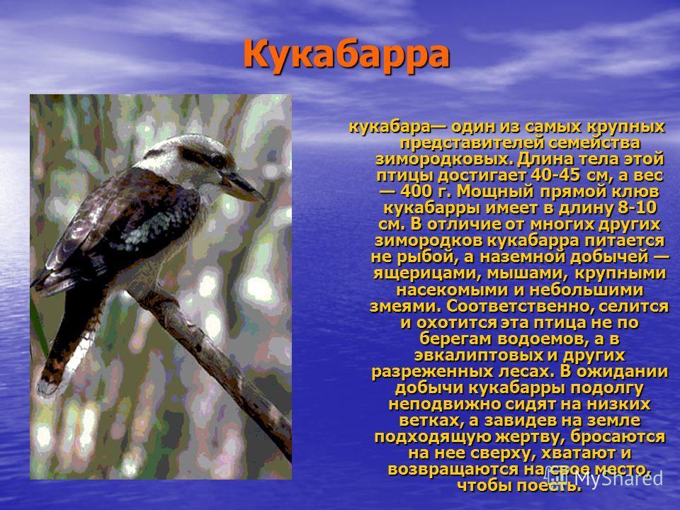 Кукабарра кукабара один из самых крупных представителей семейства зимородковых. Длина тела этой птицы достигает 40-45 см, а вес 400 г. Мощный прямой клюв кукабарры имеет в длину 8-10 см. В отличие от многих других зимородков кукабарра питается не рыб