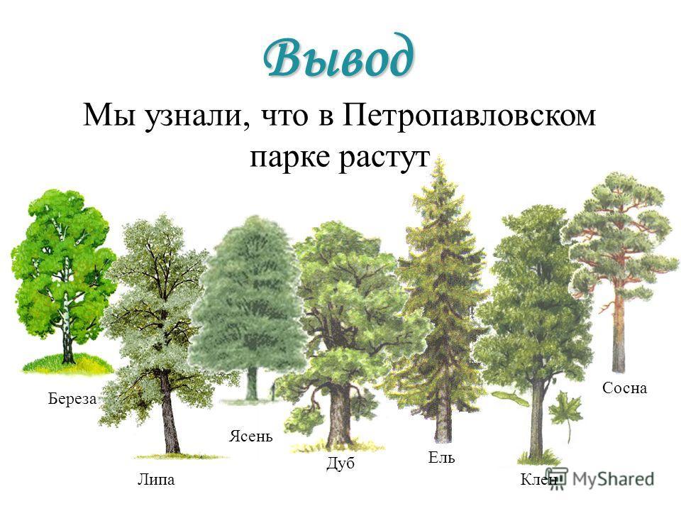 Береза Липа Мы узнали, что в Петропавловском парке растут Ель Клен Сосна Вывод Дуб Ясень