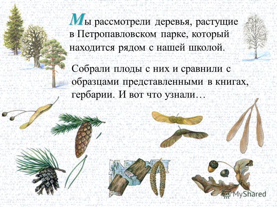 М М ы рассмотрели деревья, растущие в Петропавловском парке, который находится рядом с нашей школой. Собрали плоды с них и сравнили с образцами представленными в книгах, гербарии. И вот что узнали…