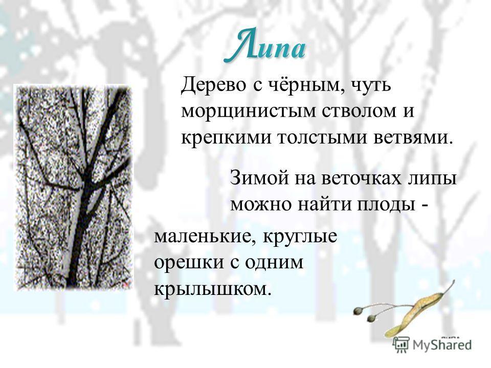 Дерево с чёрным, чуть морщинистым стволом и крепкими толстыми ветвями. Л ипа Зимой на веточках липы можно найти плоды - маленькие, круглые орешки с одним крылышком.