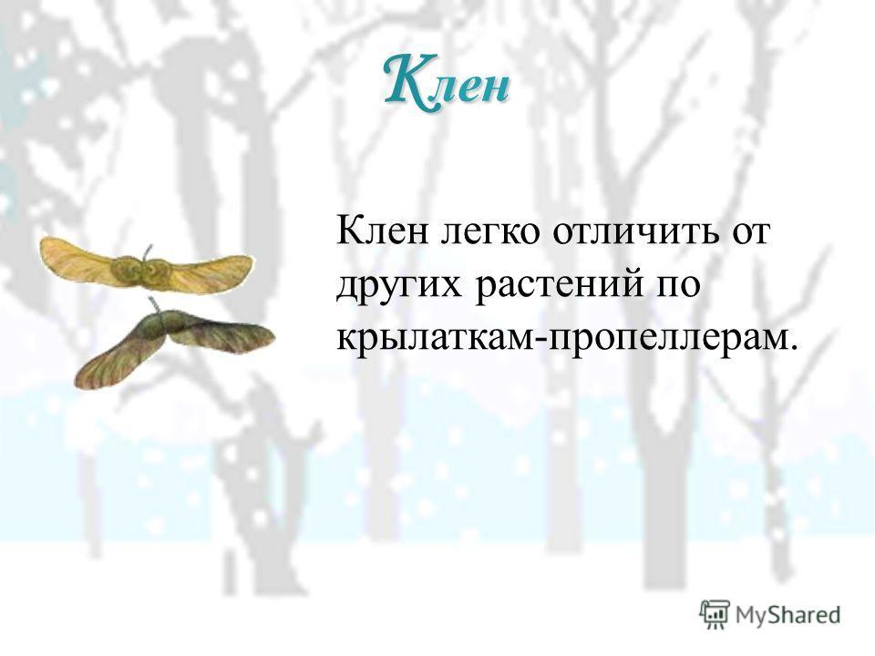 К лен Клен легко отличить от других растений по крылаткам-пропеллерам.