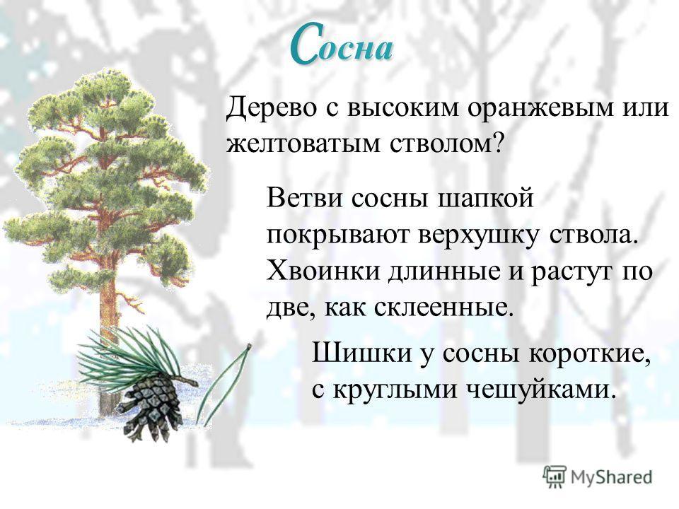 С осна Дерево с высоким оранжевым или желтоватым стволом? Ветви сосны шапкой покрывают верхушку ствола. Хвоинки длинные и растут по две, как склеенные. Шишки у сосны короткие, с круглыми чешуйками.
