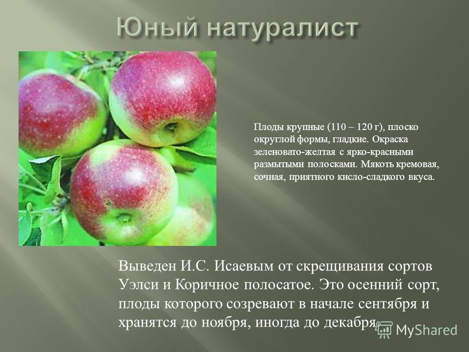 Выведен И.С. Исаевым от скрещивания сортов Уэлси и Коричное полосатое. Это осенний сорт, плоды которого созревают в начале сентября и хранятся до ноября, иногда до декабря. Плоды крупные (110 – 120 г), плоско округлой формы, гладкие. Окраска зеленова